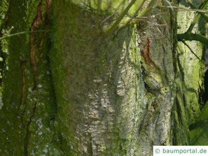 plum tree (Prunus domestica subsp. syriaca) trunk / bark