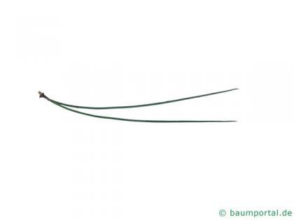 ponderosa pine (Pinus ponderosa) needle