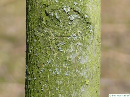 pumpkin ash (Fraxinus profunda) trunk / bark