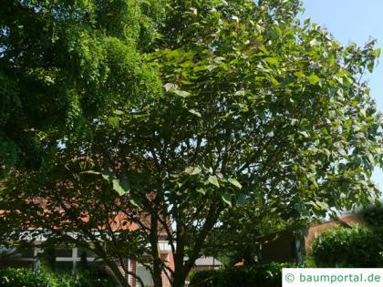 red-leaves catalpa (Catalpa erubescens 'Purpurea') tree in summer