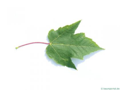 red maple (Acer rubrum) leaf