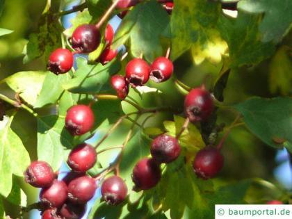 redthorn (Crataegus laevigata 'Paul's Scarlet') fruits