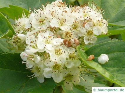 redhaw hawthorn(Crataegus sanguinea) blossom