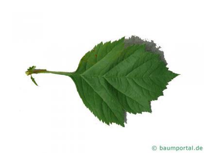 redhaw hawthorn(Crataegus sanguinea) leaf