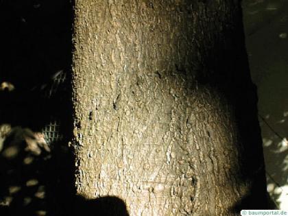 ruby horsechestnut (Aesculus carnea) trunk / bark