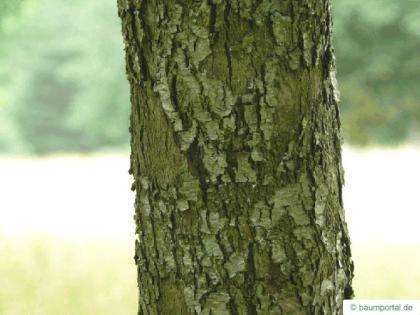 service tree (Sorbus domestica) trunk / bark