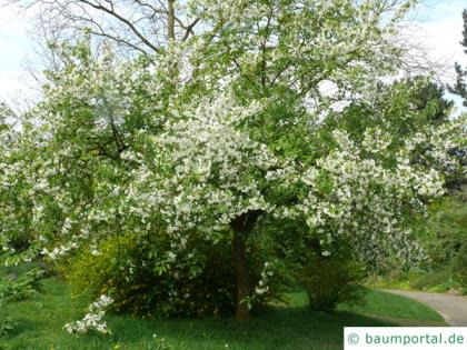 siberian crab apple (Malus baccata) flower tree in summer