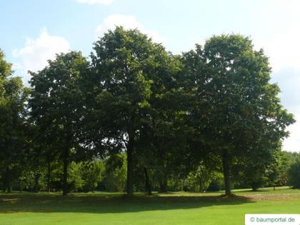 silver lime (Tilia tomentosa) tree
