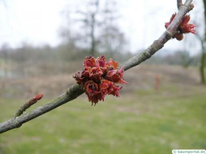 silver maple (Acer platanoides) reddish flowers of