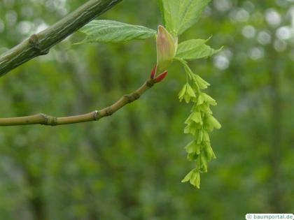 striped maple (Acer pensylvanicum) flower