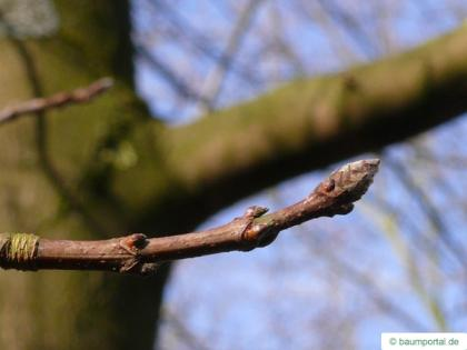 sugar maple (Acer saccharum) buds