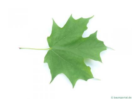 sugar maple (Acer saccharum) leaf