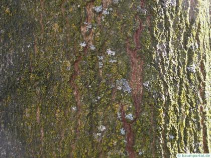 sugar maple (Acer saccharum) trunk / bark