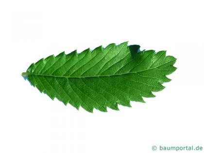 thorn-elm (Hemiptelea davidii) leaf