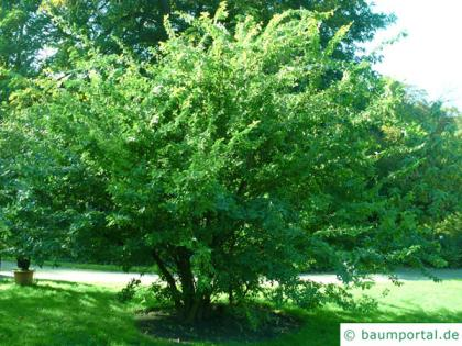 thorn-elm (Hemiptelea davidii) tree in summer