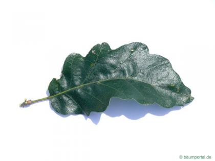 turkish oak (Quercus zerris) leaf