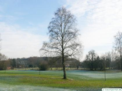 white birch (Betula pendula) tree in winter