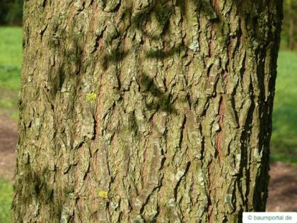 white willow (Salix alba) trunk / bark