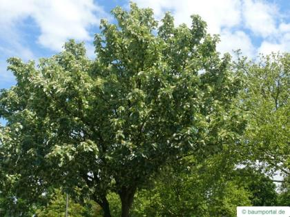 whitebeam (Sorbus aria) crown in summer