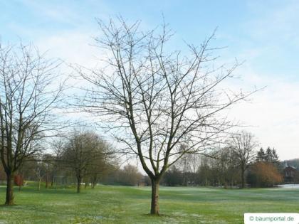 wild cherry (Prunus avium) tree