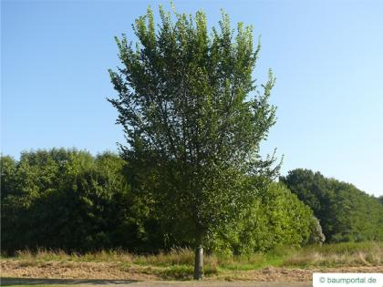 wych elm (Ulmus glabra) tree in summer