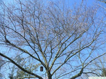 yellow birch (Betula alleghaniensis) crown in winter