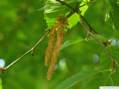yellow birch (Betula alleghaniensis) fruits / seed