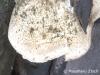 oak maze fungus (Daedalea quercina)