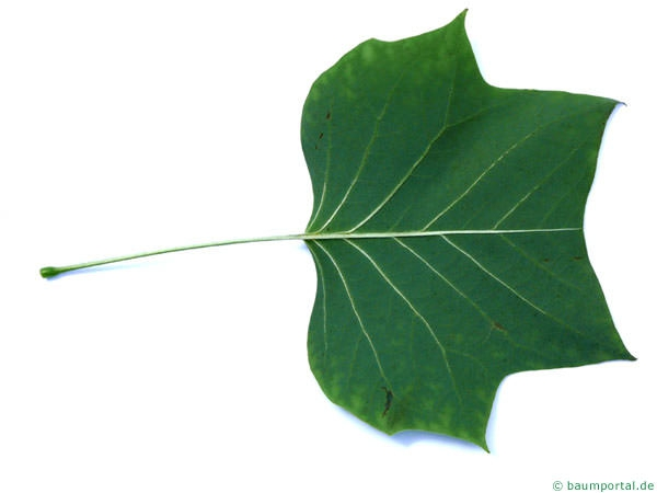 tulip tree (Liriodendron tulipifera) leaf underside