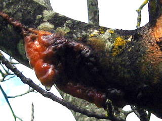 frost cracks on walnut orange sap