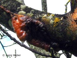 frost cracks on walnut in spring
