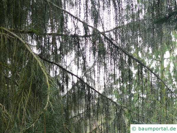 weeping spruce (Picea breweriana) branches and twigs