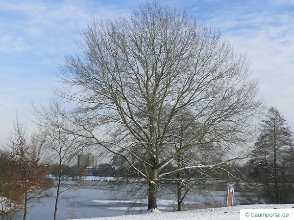 white poplar (Populus alba) tree in winter