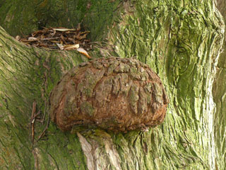 willow bark tumor
