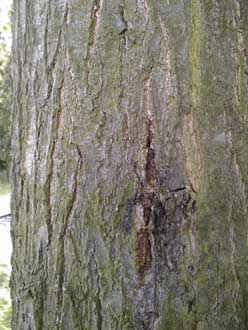 wood insects in bark
