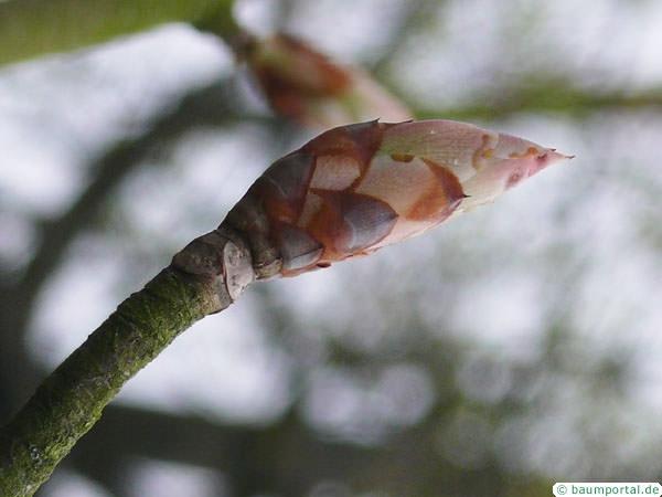 yellow buckeye (Aesculus flava) bud