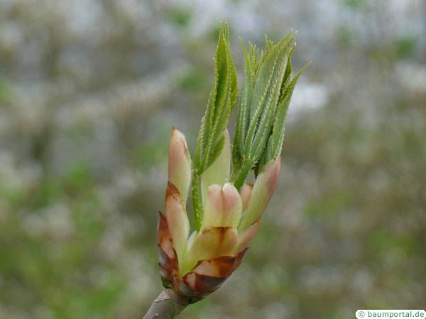 yellow buckeye (Aesculus flava) budding