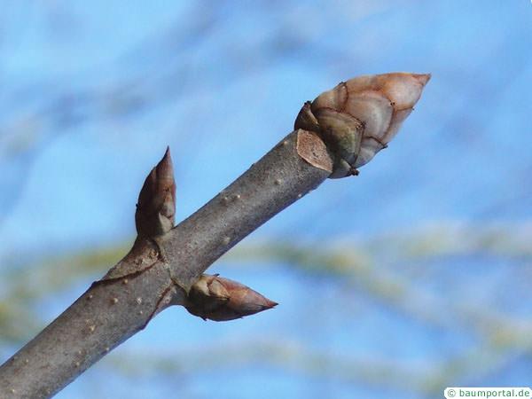 yellow buckeye (Aesculus flava) axial buds