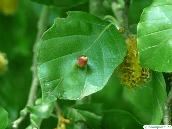 beech leaf with gall mite