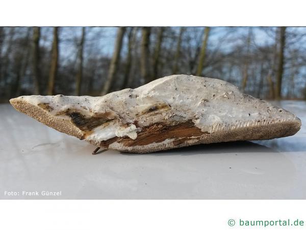 Lumpy bracket (Trametes suaveolens) cut