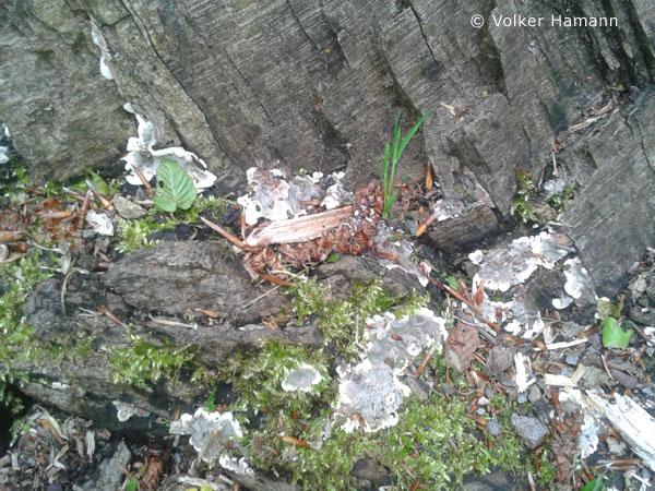 brittle cinder (Kretzschmaria deusta)
