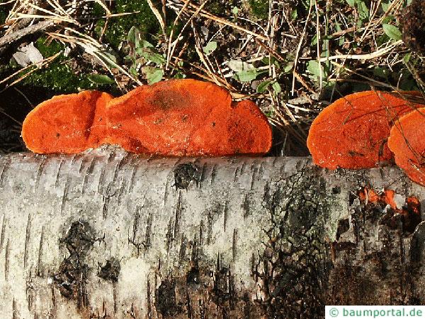 Cinnabar-red polypore (Pycnoporus cinnabarius) at birch