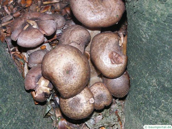 honey fungus (Armillia mellea)