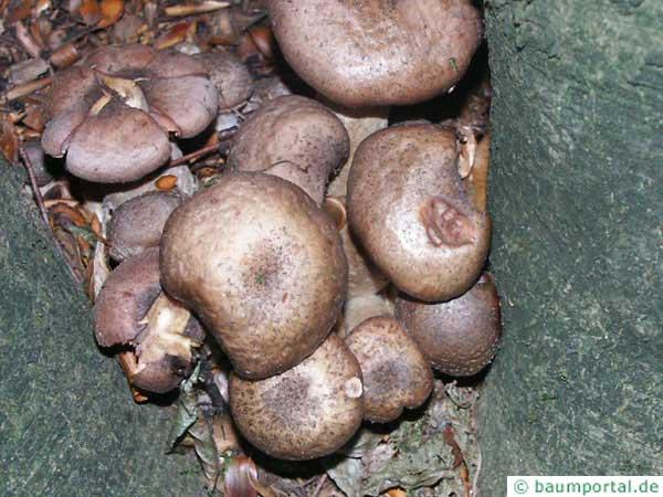 honey fungus (Armillia mellea) group of fungi old types