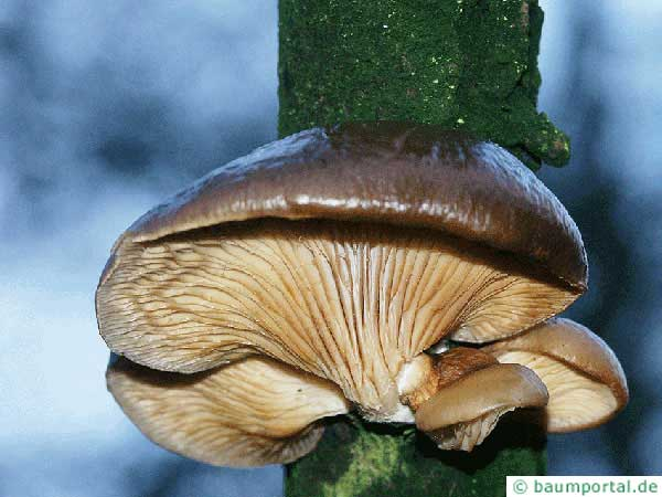 oyster fungus (Pleurotus ostreatus)