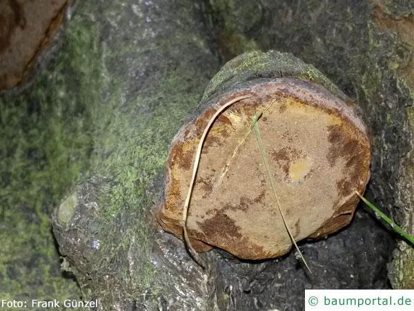 Phellinus tuberculosus bottom