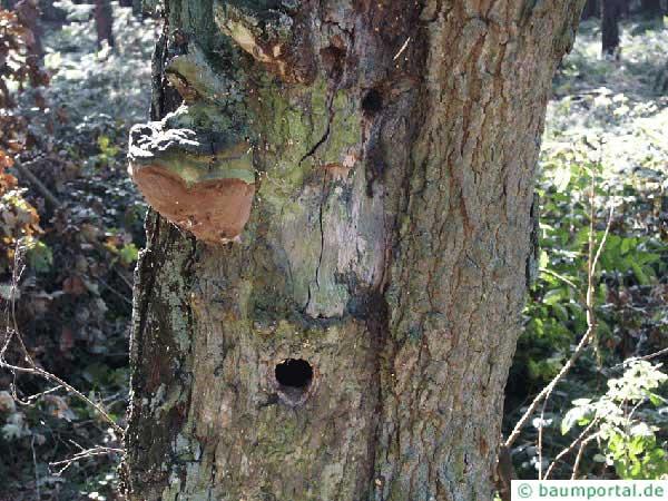 robustus conk (Phellinus robustus) at an oak