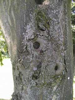 lichens on bark