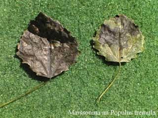 poplar leaf with necrosis