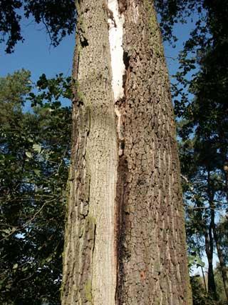 oak decline trunk crack